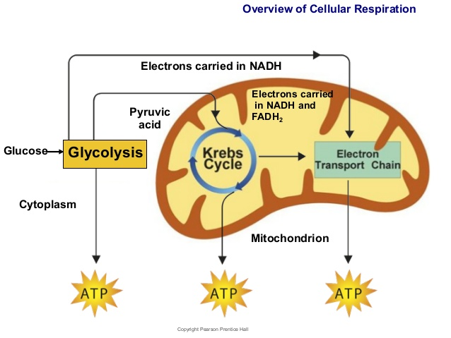 Photosynthesis vs cell respiration piktochart visual editor it takes place in the mitochondria of cells ccuart Image collections