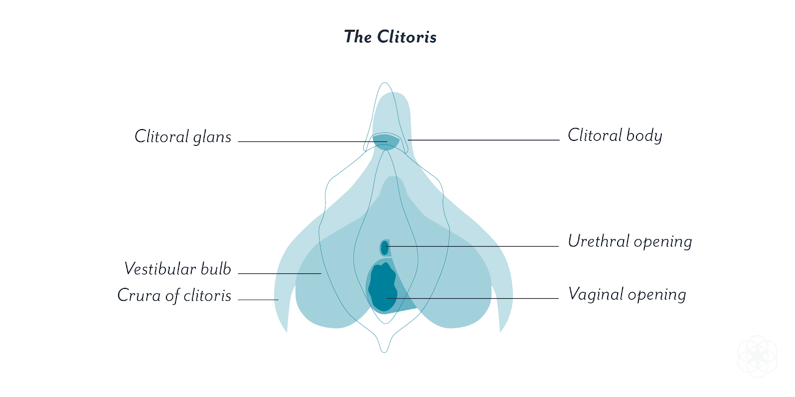 The Clitoris Not The Vagina Is The Female Homolog To The Male Penis